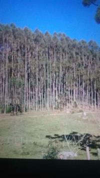 Floresta de eucalipto 112 mil pés