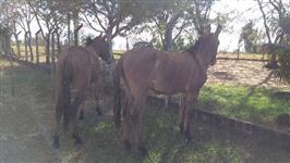 Casal de burro/ mula lindos