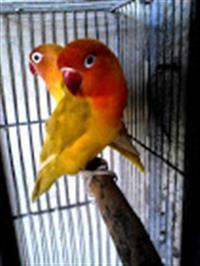 E- Book Mutação dos Pássaros Exóticos