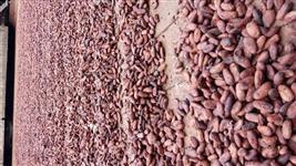 Amêndoas de cacau da Amazônia com  60% fermentação.