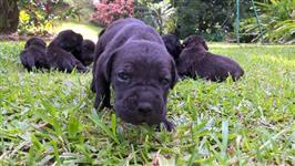 Cane Corso Italiano, o cão campeão no campo!