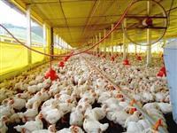 Arrendo granja aviário
