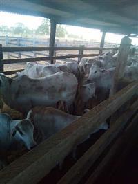 Compro vaca parida no Tocantins