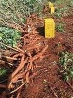 Mandioca Mansa(amarela)