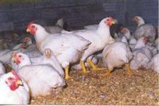 Galinhas de granja para abates