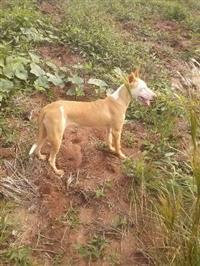 Cachorro de caça