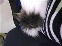 Vende-se mini-coelhos