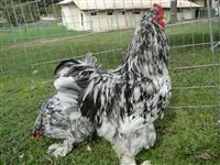 Aves Ornamentais Chacara Tulipas