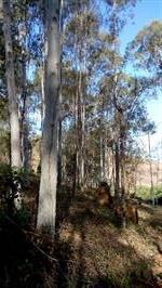 Eucalipto citriodora