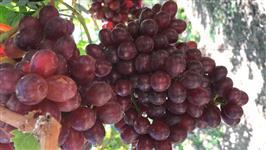 Uvas de petrolina