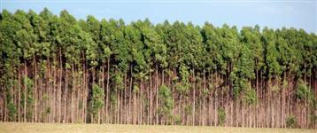 Plantio de Pinus, eucalyptus e demais espécies