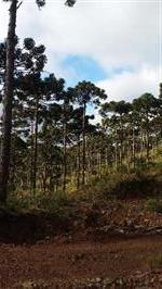 Toras de pinus araucária adulto e licenciados.