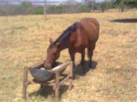 cavalo para laçar em solta e trabalhar em fazenda