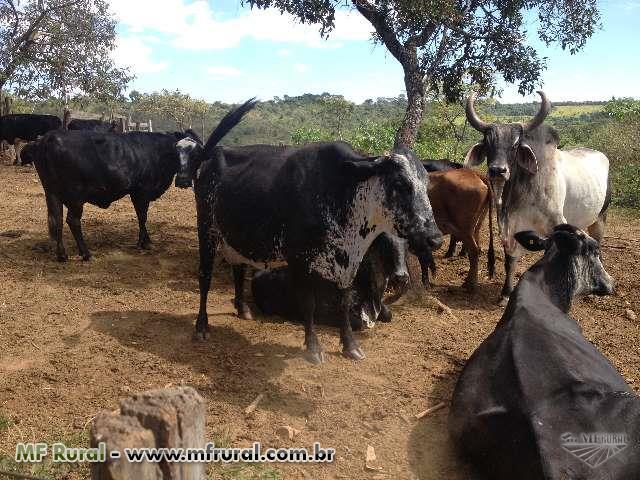 40 vacas Jersolandas e Girolando 3/4, 5/8 e 1/2