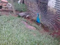 Casais de Pavão Azul