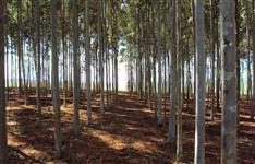 Compro eucalipto citriodora
