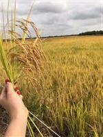 Área de lavoura de arroz para arrendamento