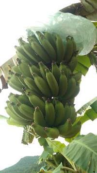 Banana (prata) direto do