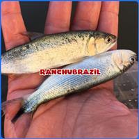 Dourado Peixes Alevinos