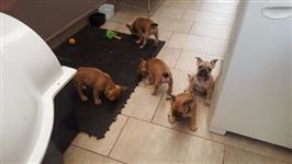 Filhotes de Bulldog Frances