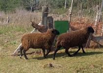 Vendo Cordeiros para Reprodutores com lã preta