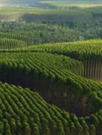 Arvores de eucaliptos cloeziana