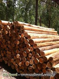 Eucalipto madeira tratada