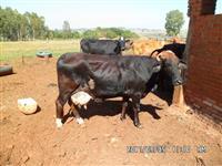 17 vacas de leite