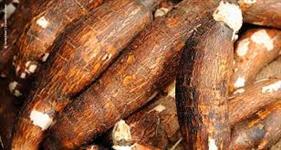 Silagem de macaxeira (aipin ) mistura do caule, folha e raiz. saco 30 kilos R$ 26,00