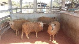 Vendo 5 Ovelhas Texel com 1 Reprodutor