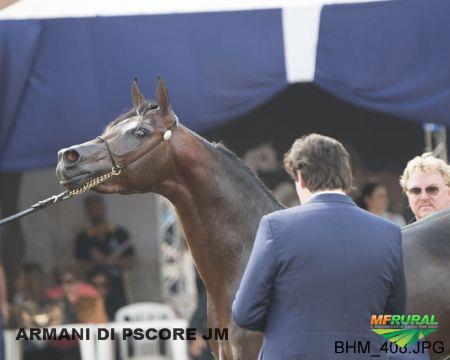 Cavalo Puro Sangue Arabe
