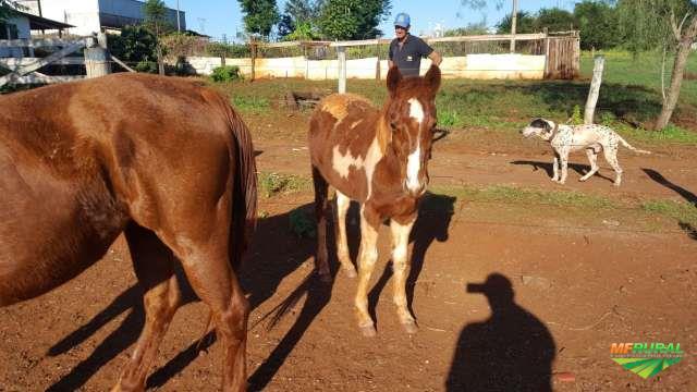 VENDE-SE POTRA PAINT HORSE
