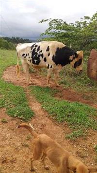 Vendo Gado Gir Leiteiro, vacas paridas, solteiras, novilhas