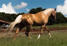 Cavalo Quarto de Milha - Baio Amarilho Garanhão