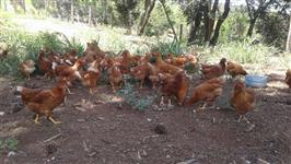 galinha rhodia 120 dias