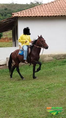 Garanhão Mangalarga Machador