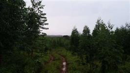 Floresta Eucalipto Clone - 4,5 anos - 17 mil árvores - aproximadamente 5 mil m3