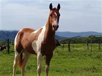 Potro Paint Horse Imperdível
