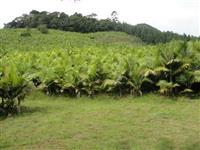 Vendo Palmeira Real