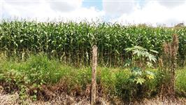 Roça de milho a venda em Lambari - MG - Equivalente a 12 saquinhos de semente