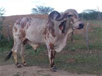 Toro Gir leiteiro