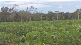 Vendo 4 hectares de mandioca