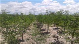 FAZENDA COM PLANTIO DE MORINGA OLEÍFERA 345 HECTARES VENDA OU PARCERIA