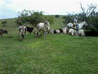 Vacas adultas Guzerá