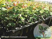 Mudas de eucalipto clonado ou clonal  0,30 un