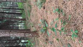 Cavaco de pinus