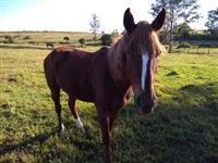 Vendo cavalo quarto de milha com manga larga