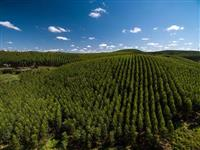 Plantação Eucalipto e Pinus