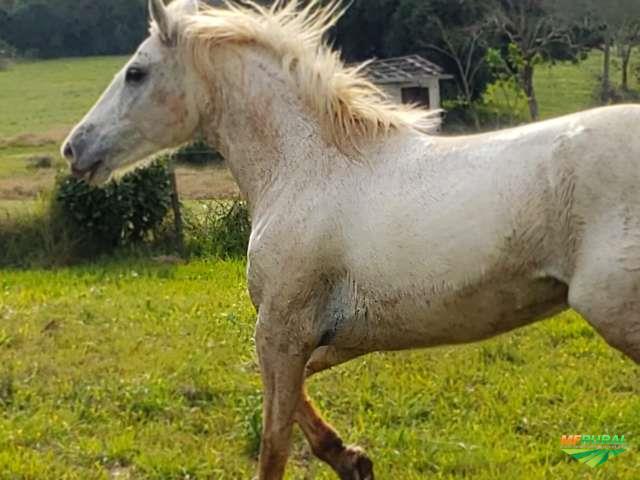 Cavalos crioulos registrados