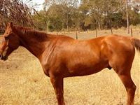 1 cavalo de 7 anos de idade